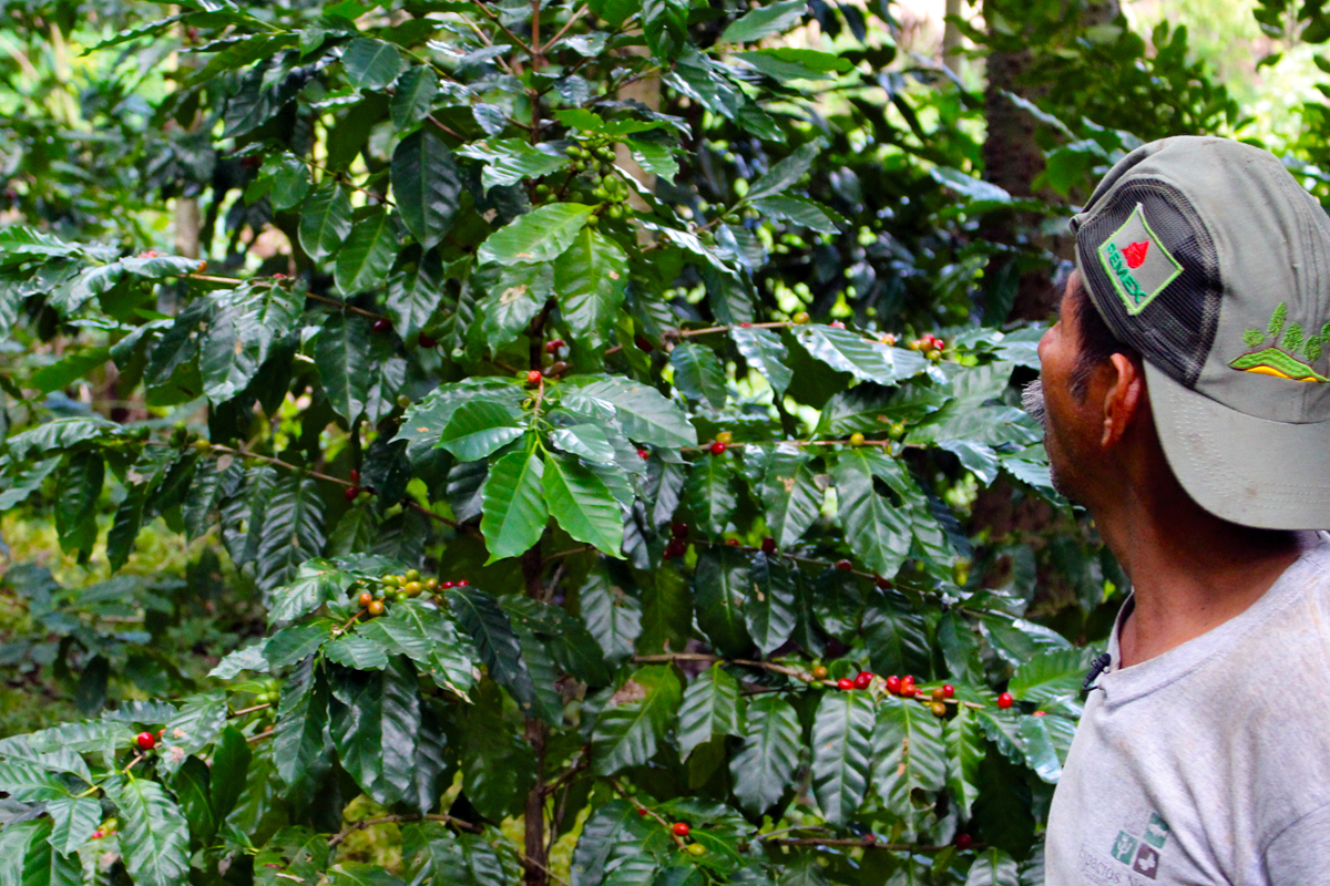 Plantas de café de sombra. Los Tuxtlas, Veracruz.