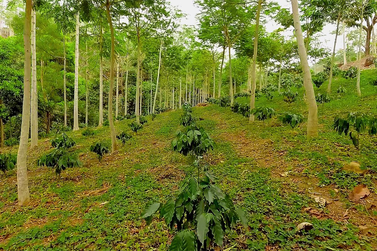 Cultivos bajo sombra, Los Tuxtlas, Veracruz.