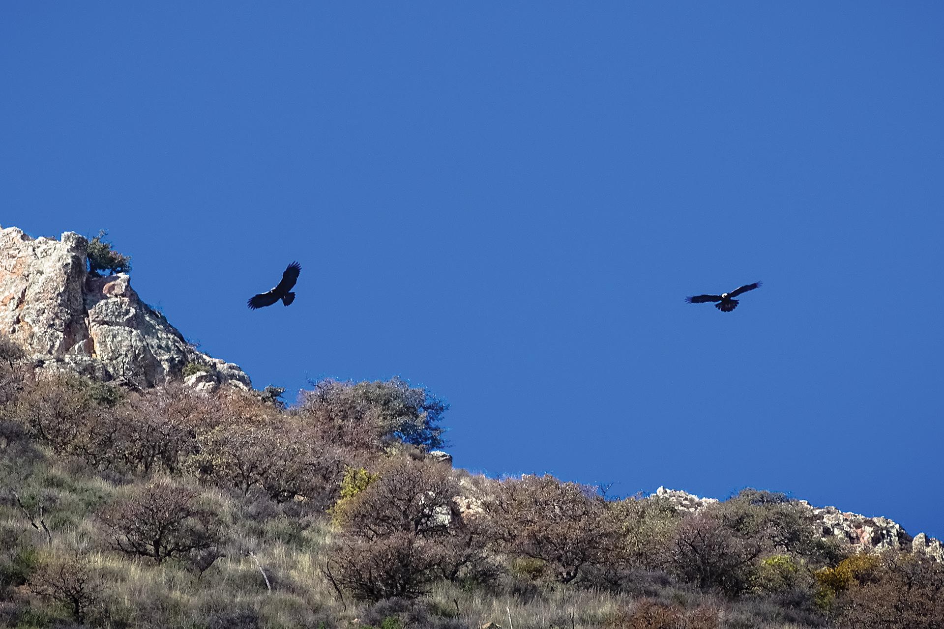 Pareja de águilas reales en vuelo