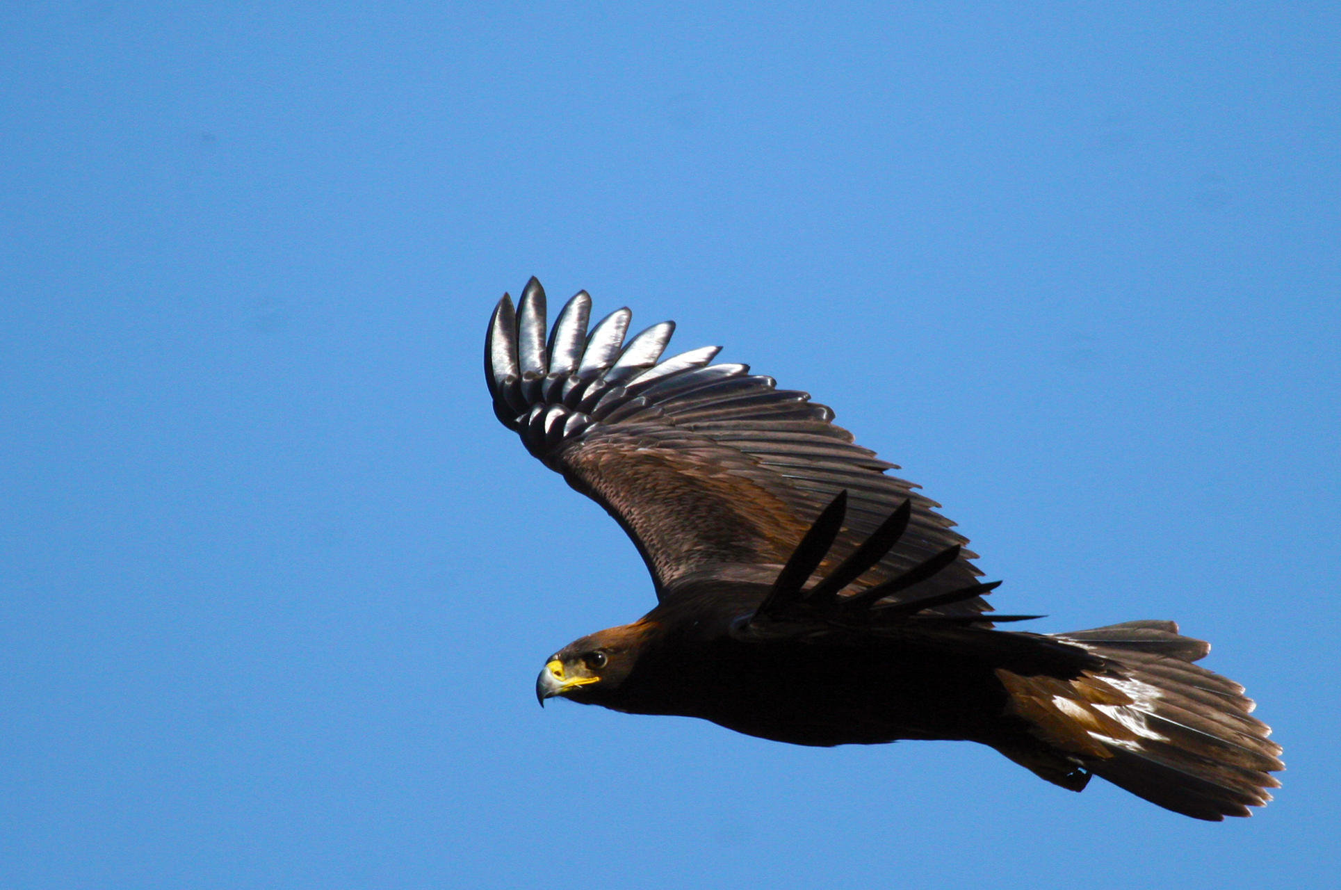 Águila real en vuelo