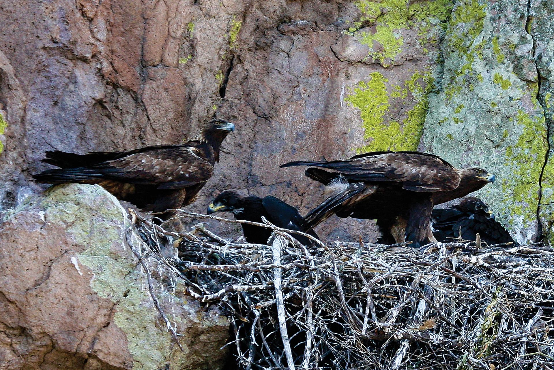 Pareja de águilas reales con polluelo en el nido