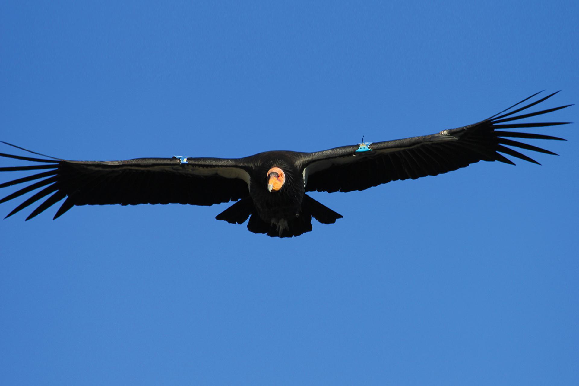 Cóndor de California en vuelo. San Pedro Mártir, BC, México